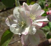pommier_fleur ouverte